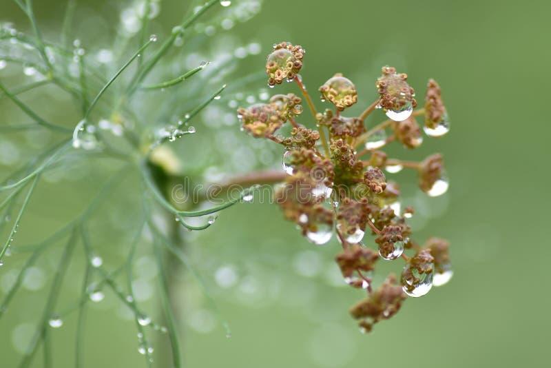 """Il macro aneto della pioggia aromatizza il giardino УкрРil ¾ Ð il ¿ Ð il ² каР Ñ di Ñ del ¿ Ð""""…  DEL ¾ жÐ'Ñ DI Ð'Ð immagine stock libera da diritti"""