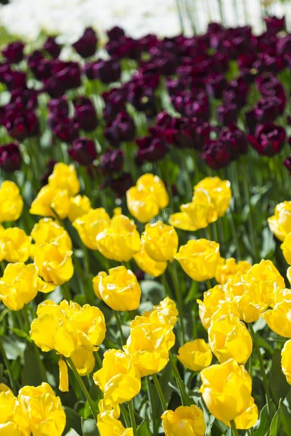Il macro colpo del primo piano di olandese nazionale Holland Tulips Of The Selected ordina il colpo contro fondo vago fotografia stock