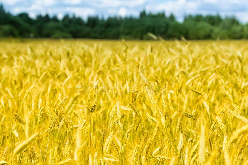 Il macro oro sistema il panorama del grano con cielo blu e le nuvole, campagna rurale immagine stock