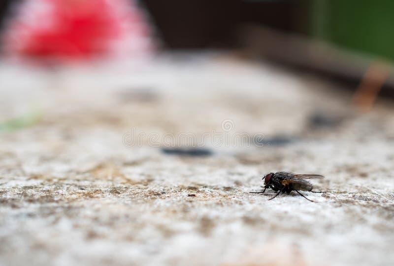 Il macrophoto di una mosca domestica nera su una superficie leggera fotografia stock libera da diritti