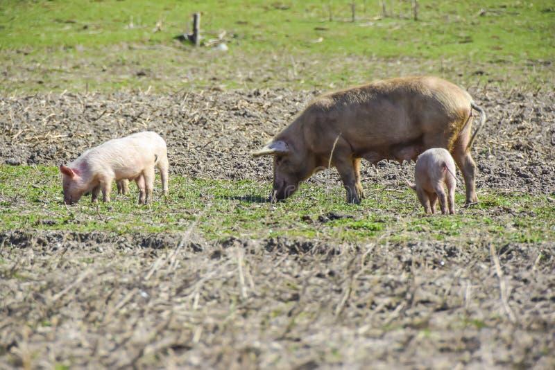 Il maiale della madre con i suoi porcellini su un prato mangia il por dell'agricoltura dell'azienda agricola immagini stock