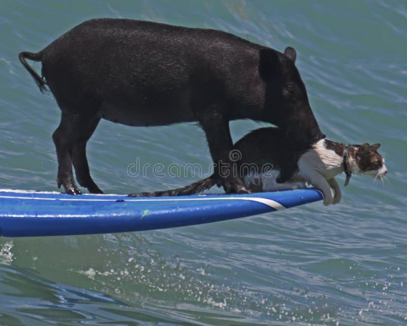 Il maiale ed il Pussycat fotografia stock libera da diritti