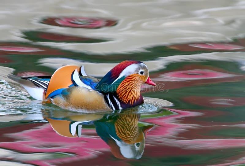 Il mandarino maschio dell'anatra galleggia nel lago con la riflessione dell'acqua fotografia stock
