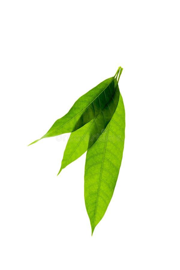 Il mango verde fresco lascia isolato su fondo bianco fotografia stock