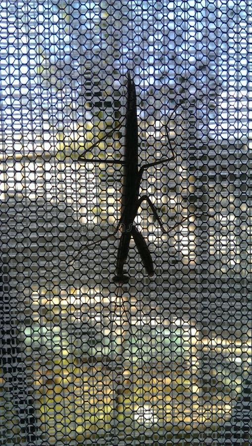 Il mantide sulla finestra fotografie stock libere da diritti