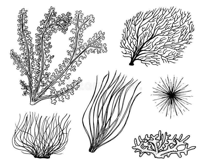 Il marinaio pianta l'alga vita di verdure ed alimento per il pesce inciso disegnato a mano nel vecchio schizzo, stile d'annata na royalty illustrazione gratis