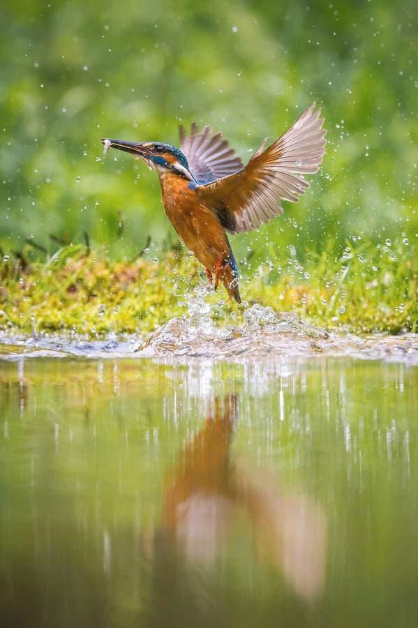 Il martin pescatore comune d'immersione, atthis del alcedo sta volando con la sua preda nel fondo verde Il martin pescatore ha pr fotografia stock