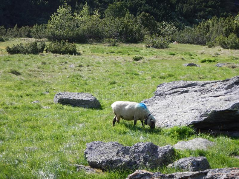 Il marzo tradizionale delle pecore raduna sopra un passo di montagna al pascolo immagini stock