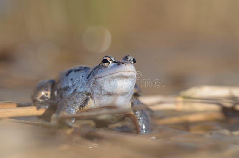 Il maschio attracca la rana - arvalis del Rana immagini stock libere da diritti