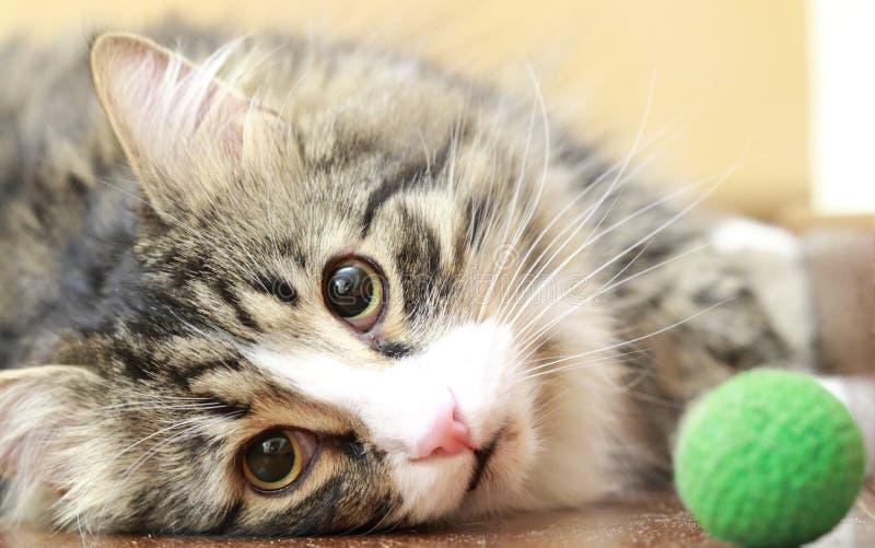 Il maschio del gatto siberiano gioca con una palla immagini stock libere da diritti