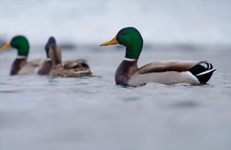 Il maschio Mallard nuota nel gruppo con altre anatre fotografia stock libera da diritti