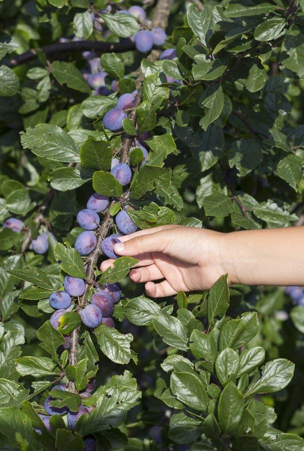 Il maschio passa il selezionamento delle prugne fresche dall'albero fotografia stock libera da diritti