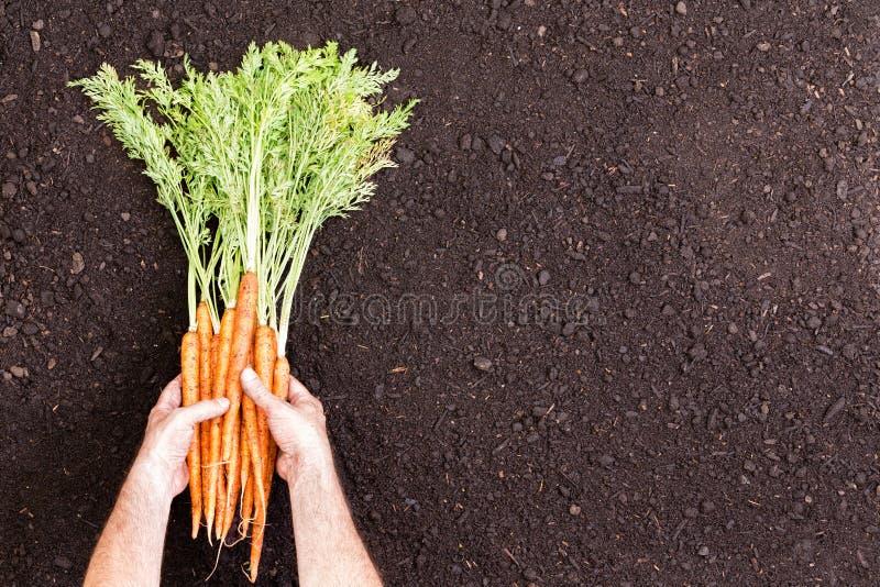 Il maschio passa la tenuta dei mazzi di carote crude fotografia stock