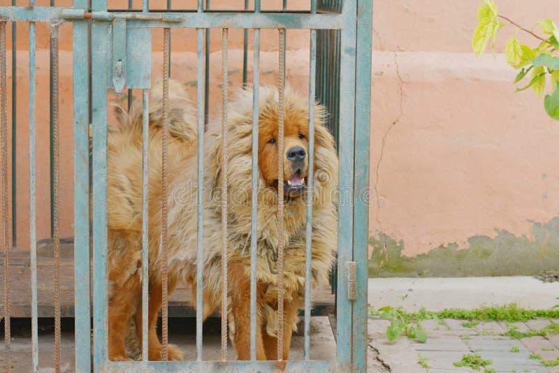 Il mastiff tibetano immagini stock