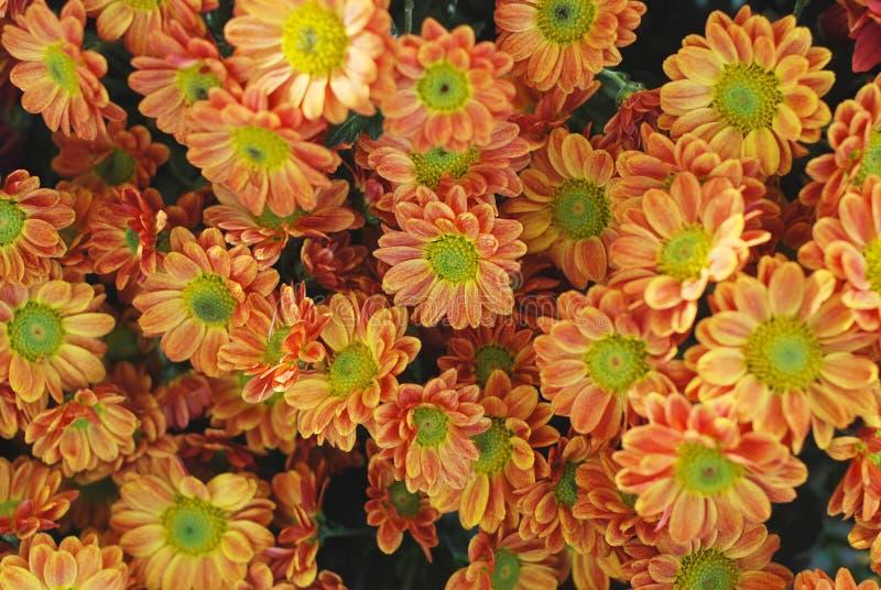 Il mazzo del crisantemo arancio fiorisce con la fine verde del mezzo su fotografia stock libera da diritti