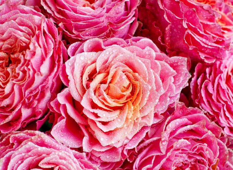 Il mazzo delle rose fresche, fiorisce il fondo luminoso closeup Il colore rosa ? aumentato con le gocce dell'acqua fotografia stock libera da diritti