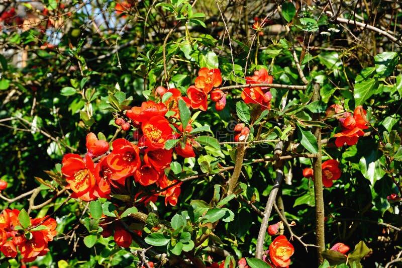Il mazzo di crescita rossa fiorisce un giorno soleggiato a Lucerna immagini stock