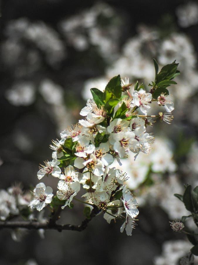 Il mazzo di piccoli fiori bianchi si ? agglutinato insieme su un ramo immagine stock