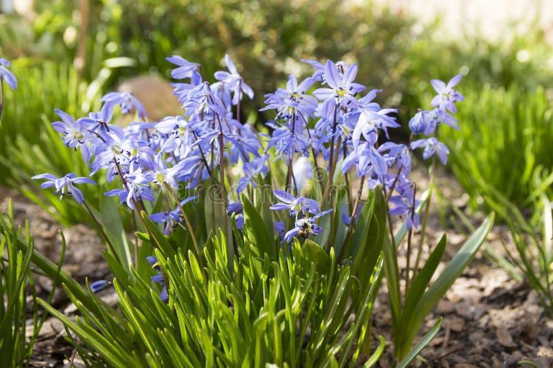 Il mazzo di siberica di Scilla, fiori blu della molla in anticipo in fioritura in giardino inserisce immagine stock libera da diritti