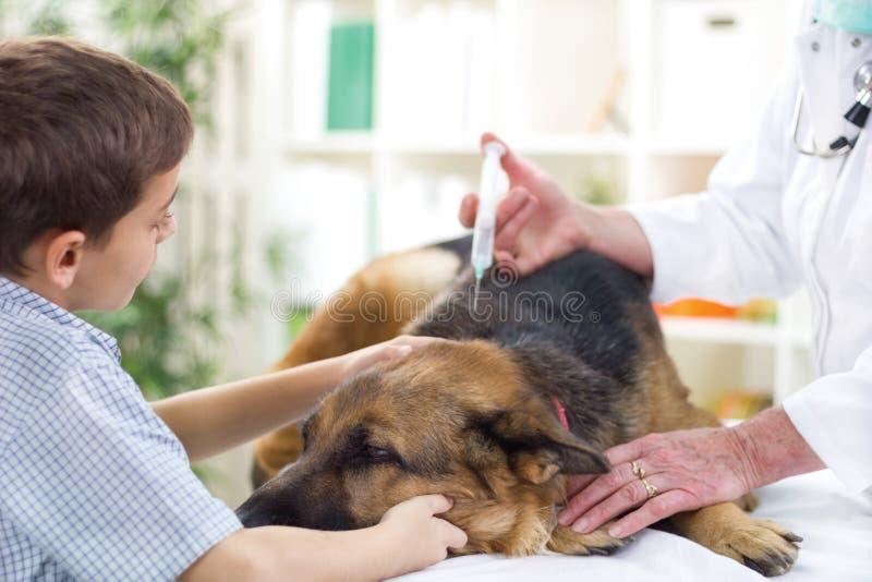 Il medico veterinario sta somministrando il vaccino al pastore tedesco immagini stock
