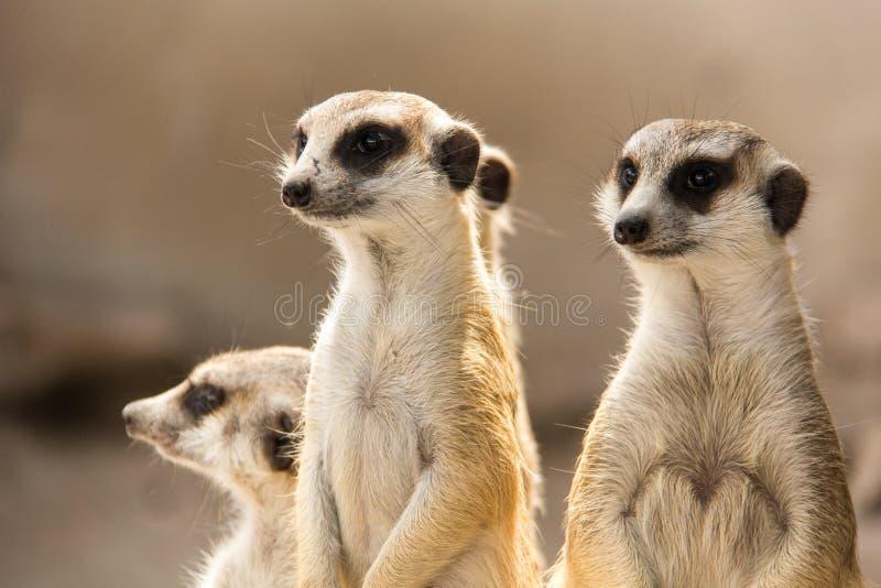 Il Meerkat immagini stock