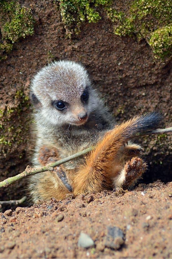 Il meerkat del bambino 'ha intrappolato' sotto un ramoscello immagine stock libera da diritti