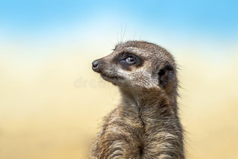 Il meerkat o il suricate è un piccolo carnivoran che appartiene alla famiglia dell'erpeste fotografia stock