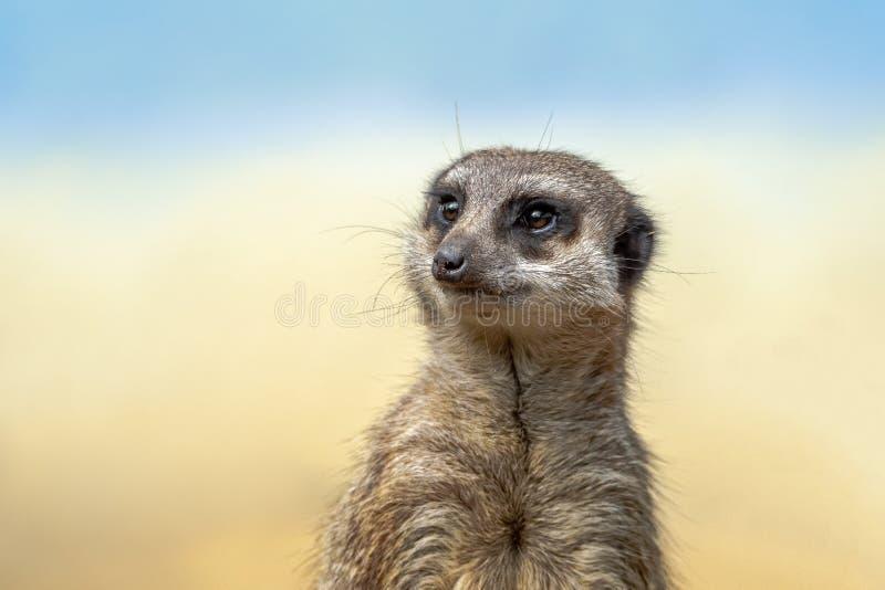 Il meerkat o il suricate è un piccolo carnivoran che appartiene alla famiglia dell'erpeste immagini stock libere da diritti