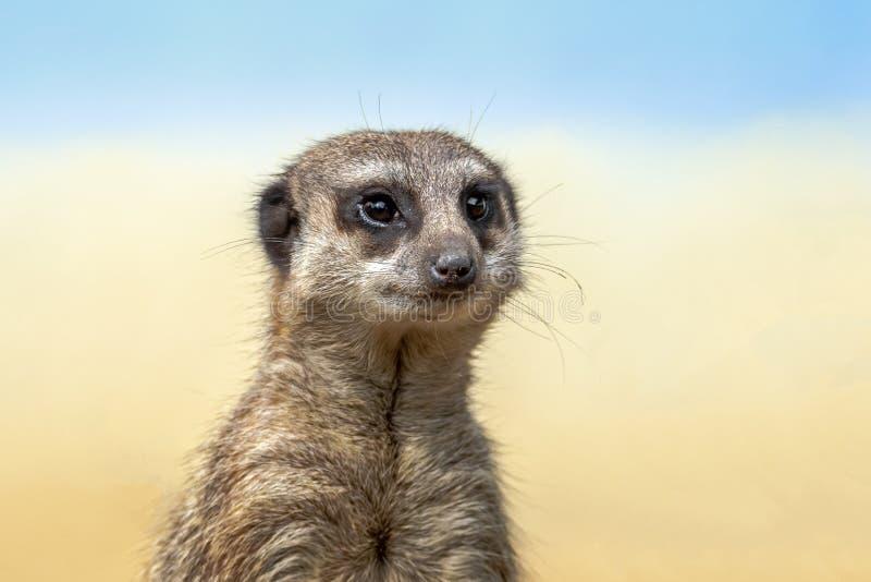 Il meerkat o il suricate è un piccolo carnivoran che appartiene alla famiglia dell'erpeste fotografie stock