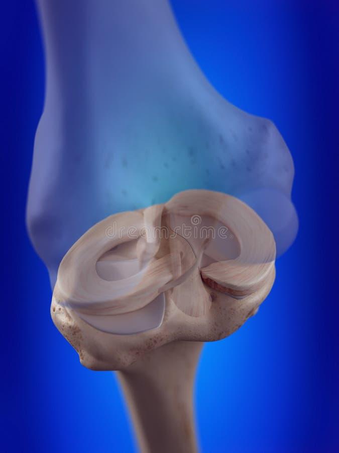 Il menisci del ginocchio illustrazione di stock