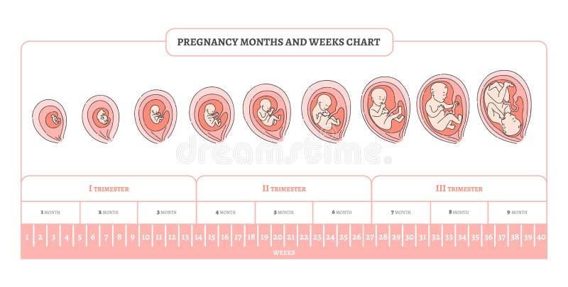 Il mese, le settimane ed i trimestri di gravidanza tracciano una carta di con le fasi dello sviluppo dell'embrione royalty illustrazione gratis