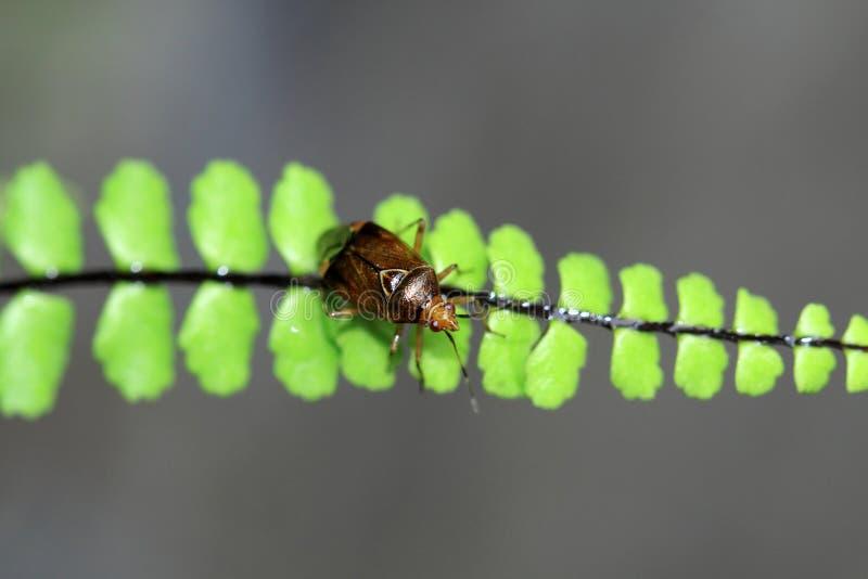 Download Il Mespilus Germanica Ha Frutta Commestibile Di Verde-Brown Immagine Stock - Immagine di nave, estate: 56891817