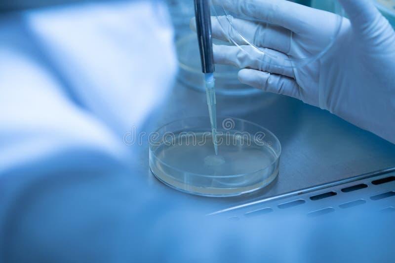 Il microbiologo sta facendo cadere un test sulla piastra di coltura dei media in laboratorio fotografia stock