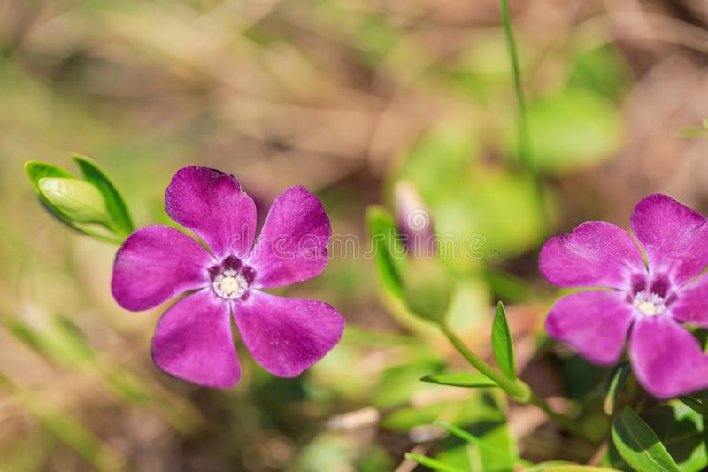 Il minore che della vinca il terreno comunale nomina poca vinca, la vinca nana, la piccola vinca, vinca comune è specie di pianta fotografia stock