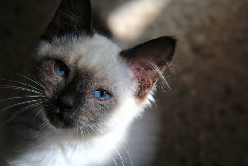 Il mio bello blu del CAT fotografie stock