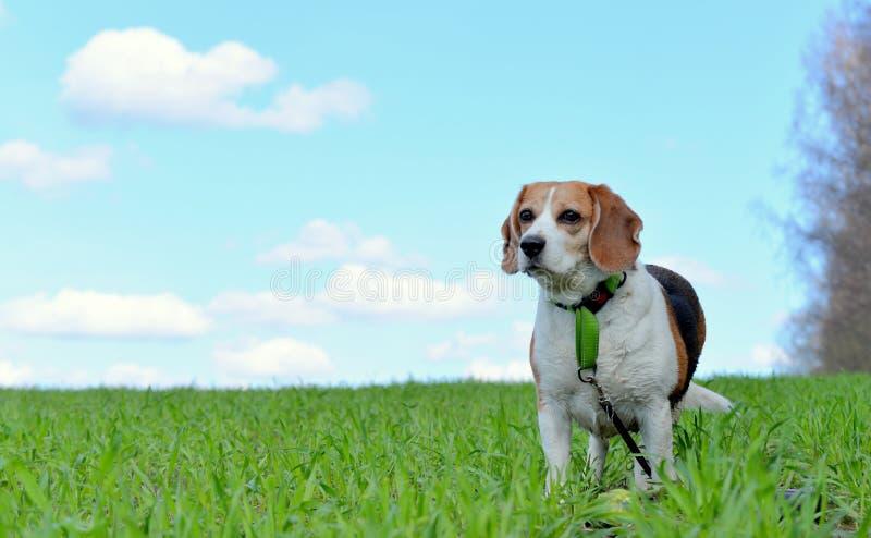 Il mio cane da lepre immagine stock