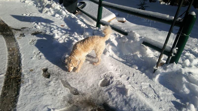 Il mio cane, esploratore che gioca nella neve! fotografia stock libera da diritti