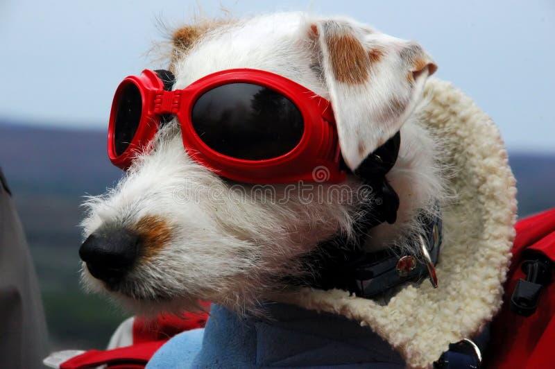 Il mio cane Ozzy con i vetri fotografia stock