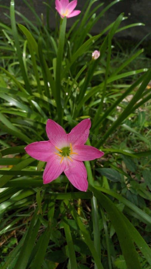 Il mio fiore è rosa fotografia stock