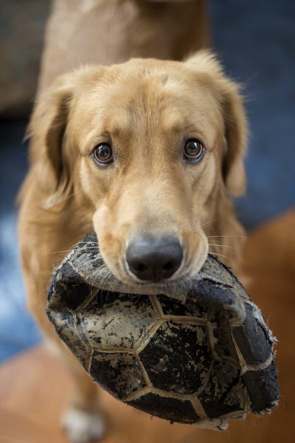 Il mio grande cane vuole giocare con voi e la palla immagine stock