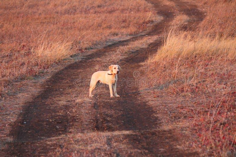 Il mio labrador retriever immagini stock libere da diritti
