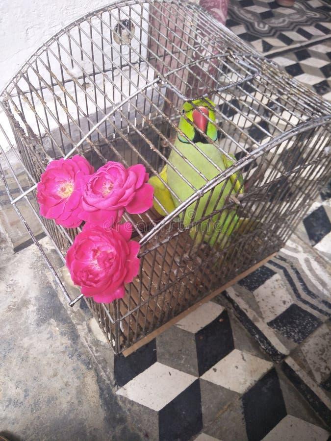Il mio pappagallo nella posa fotografia stock libera da diritti