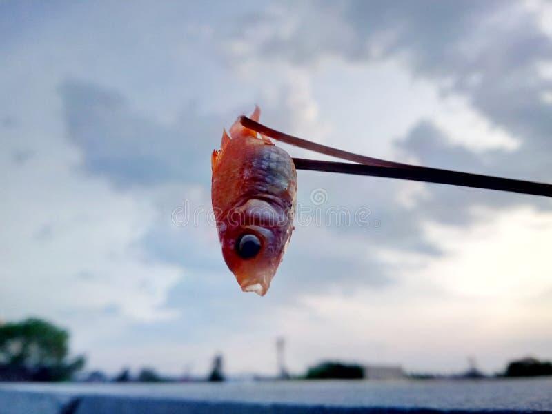 Il mio pesce morto dell'oro fotografia stock