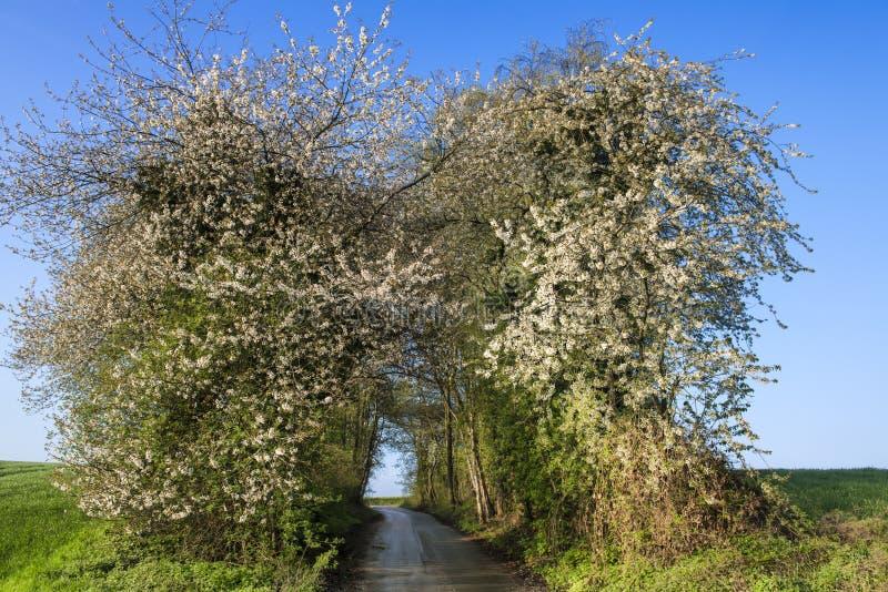 Il mio vicolo del paese con gli alberi di fioritura in primavera immagini stock