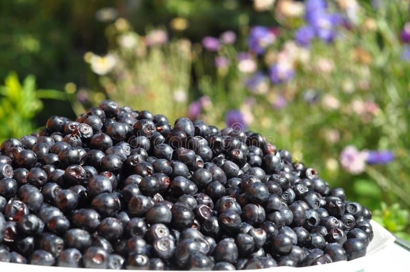 Il mirtillo organico nel bello fondo del giardino ha chiamato comunemente il mirtillo, il mirtillo, il mirtillo americano o il mi fotografie stock