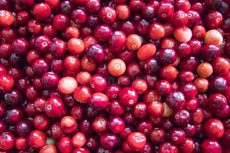 Il mirtillo rosso Chiuda su dei mirtilli rossi fotografie stock