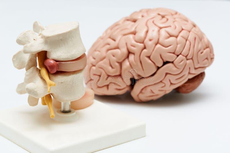 Il modello del cervello ed il tratto lombare della colonna vertebrale modellano su fondo bianco fotografie stock
