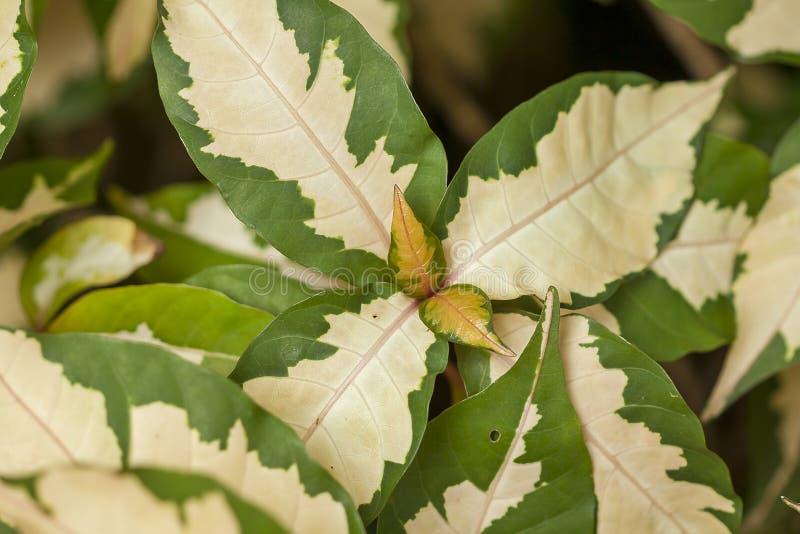 Il modello delle foglie è verde bianco e alternante fotografie stock