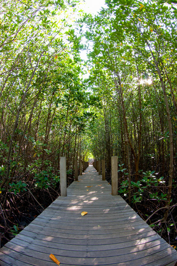 Il modo nella foresta della mangrovia fotografia stock libera da diritti