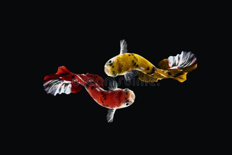 Il momento commovente bello di giallo rosso di koi del pesce di betta del Siam in Tailandia su fondo nero fotografia stock libera da diritti